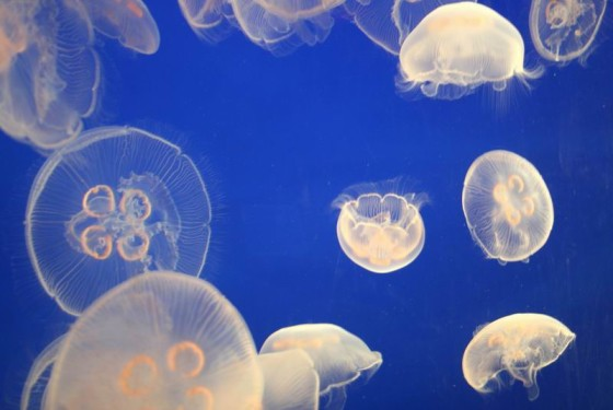 Jellyfish, Vancouver Aquarium